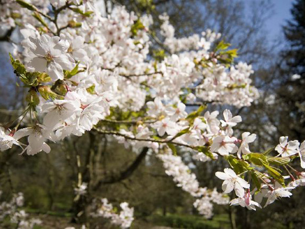 Cherry blossoms at Batsford Arboretum