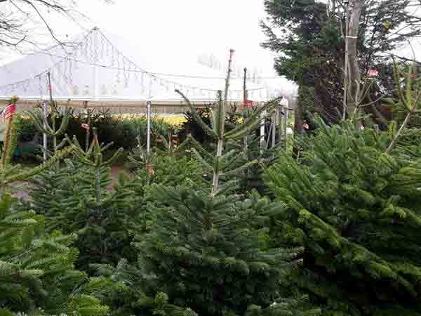 Christmas trees at Primrose Vale