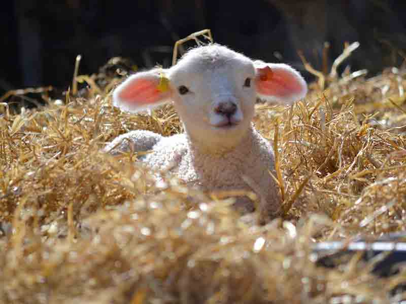 The Magic of Lambing at Adam Henson's Cotswold Farm Park