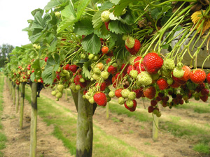 Pick Your Own Strawberries in Gloucestershire