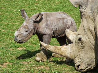 Baby Rhino at Cotwold Wildlife Park