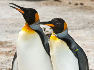 Penguins at Birdland