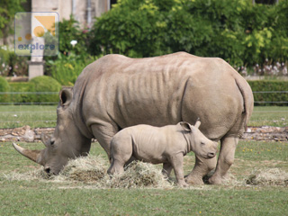 Baby Rhino at Cotswold Wildlife Park
