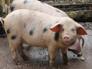 New pigs 'Spotted' at Dean Heritage Centre
