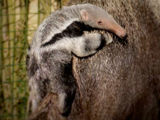 Cotswold Wildlife Park's first baby Giant Anteater makes its debut