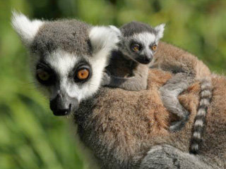 Cotswold Wildlife Park's Madagascar Exhibit Welcomes Four Newborns