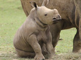Cotswold Wildlife Park celebrates first birthday of Rhino baby