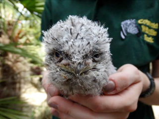Keeper takes chick under her wing at Cotswold Wildlife Park