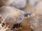 Bumper baby joy for threatened voles at WWT Slimbridge