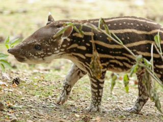Cotswold Wildlife Park celebrates first baby Tapir birth in 8 years