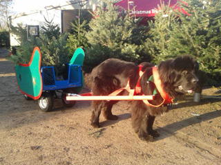 Christmas Sleigh Dogs at Primrose Vale