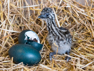 Birdland Hatches its first Emu Chick, ever!