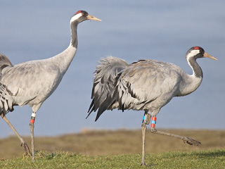 Steamy cranes show spring is in the air at WWT Slimbridge!