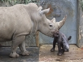 Baby White Rhino birth caught on camera at Cotswold Wildlife Park.