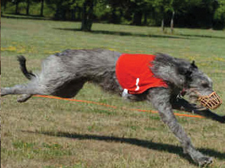 Deerhound Racing at Berkeley Castle