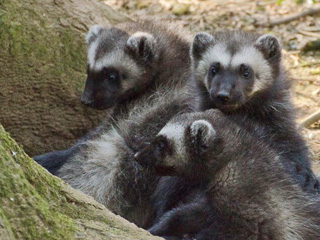 Wolverine triplets finally emerge from den at Cotswold Wildlife Park