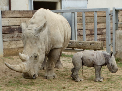 Cotswold Wildlife Park delighted at surprise arrival of 2nd Rhino calf in 1 year