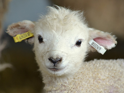 Open longer for lambing at Cotswold Farm Park