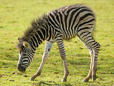 Cotswold Wildlife Park delighted with arrival of Zebra foal