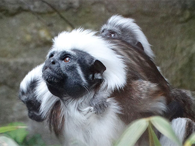 Cotswold Wildlife Park welcomes rare Cotton-top Tamarin twins