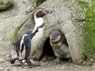 First Penguin chicks of the season hatch at Cotswold Wildlife Park
