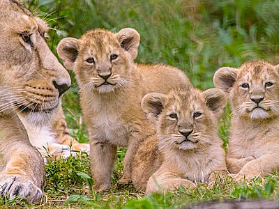 Roaring success - 3 lion cubs born at Cotswold Wildlife Park