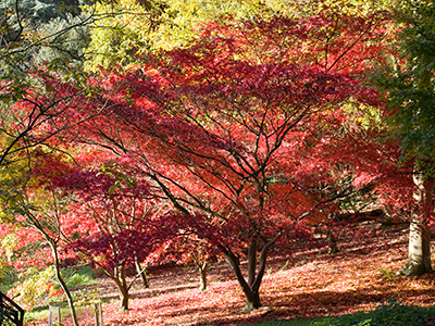 Batsford Arboretum gears up for Spectacular Autumn Colour