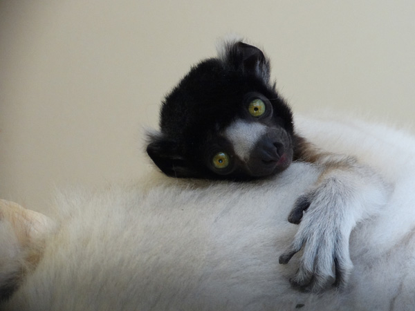 First Sifaka born in Great Britain makes his debut at Cotswold Wildlife Park & Gardens