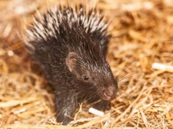 Cotswold Wildlife Park welcomes its first adorable prickly pair
