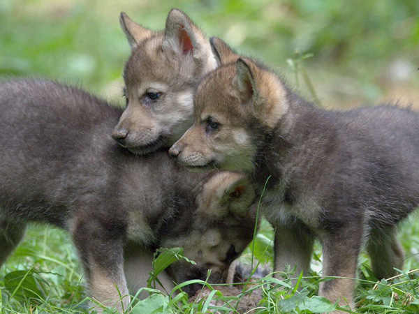 Wolf cubs at Cotswold Wildlife Park
