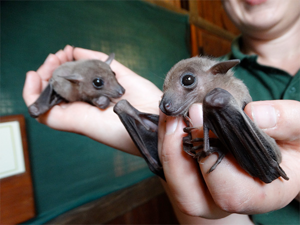 Baby bats at Cotswold Wildlife Park