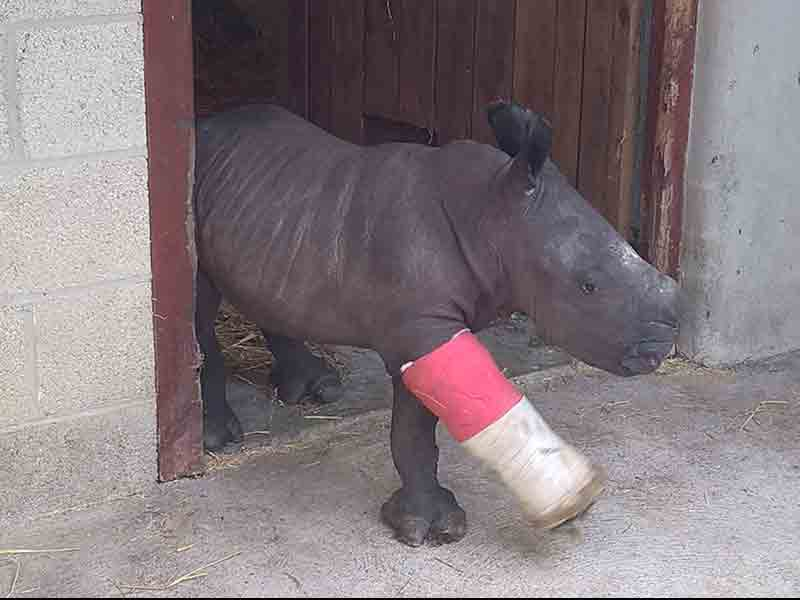 Cotswold Wildlife Park's first hand-reared Rhino calf makes her debut.