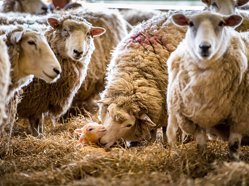 Lambing Evening at Cotswold Farm Park