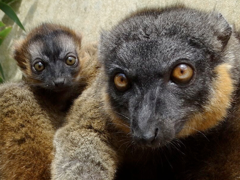 Cotswold Wildlife Park & Gardens celebrates birth of tiny Lemur twins