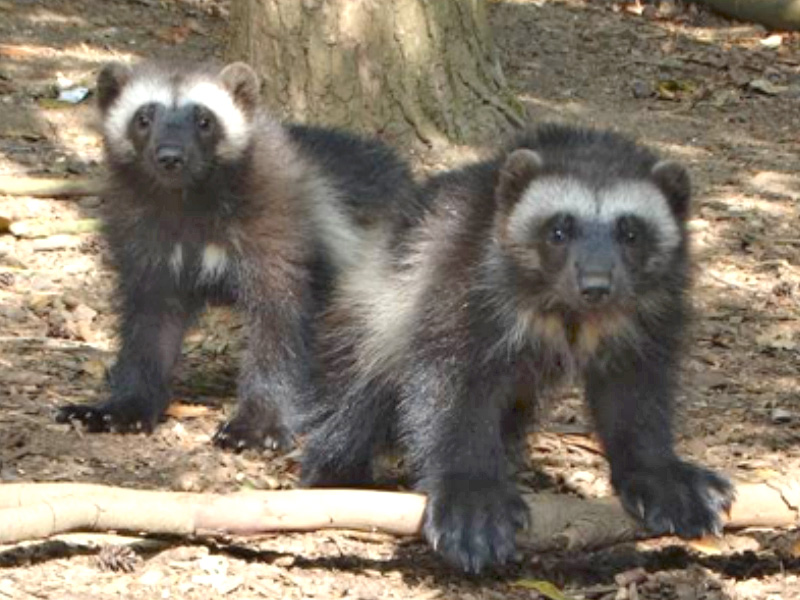 Cotswold Wildlife Park celebrates UK's only Wolverine births this year