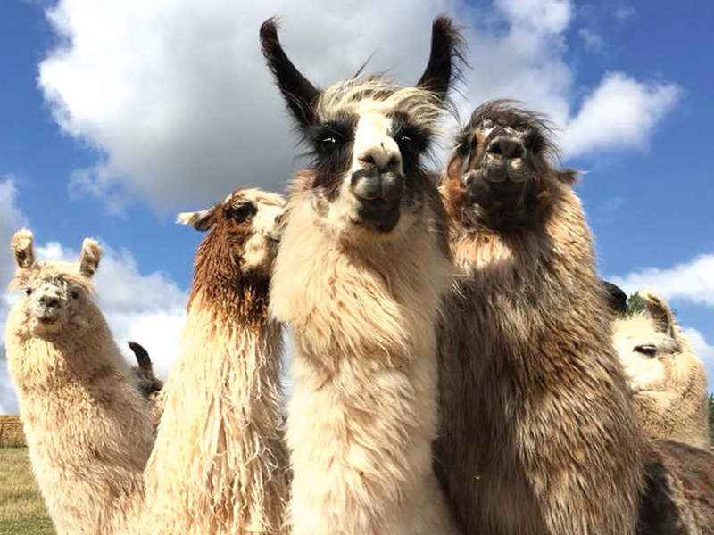 A unique Christmas gift idea: Llama Trekking + £5 OFF!