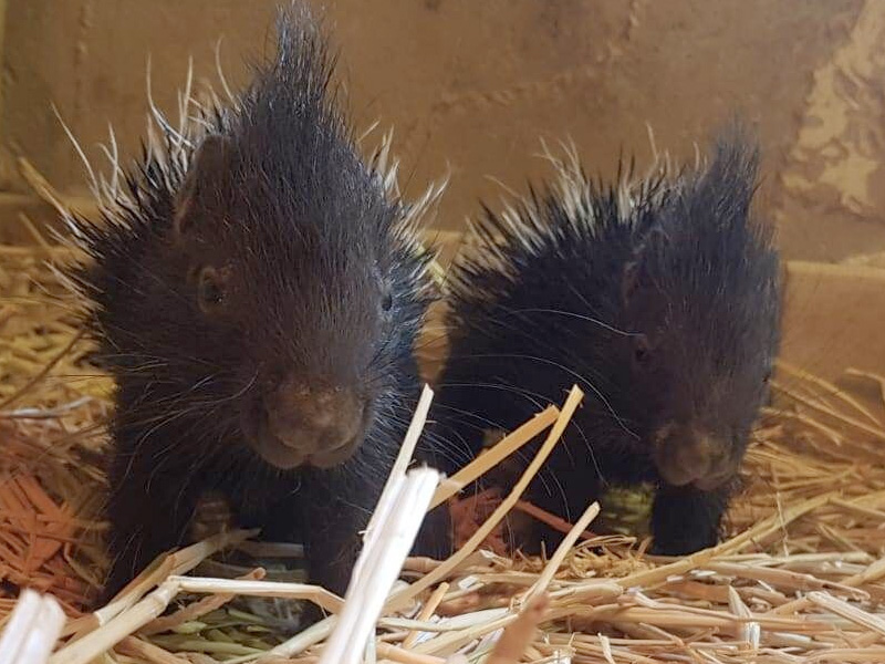 Cotswold Wildlife Park welcomes tiny Porcupette twins