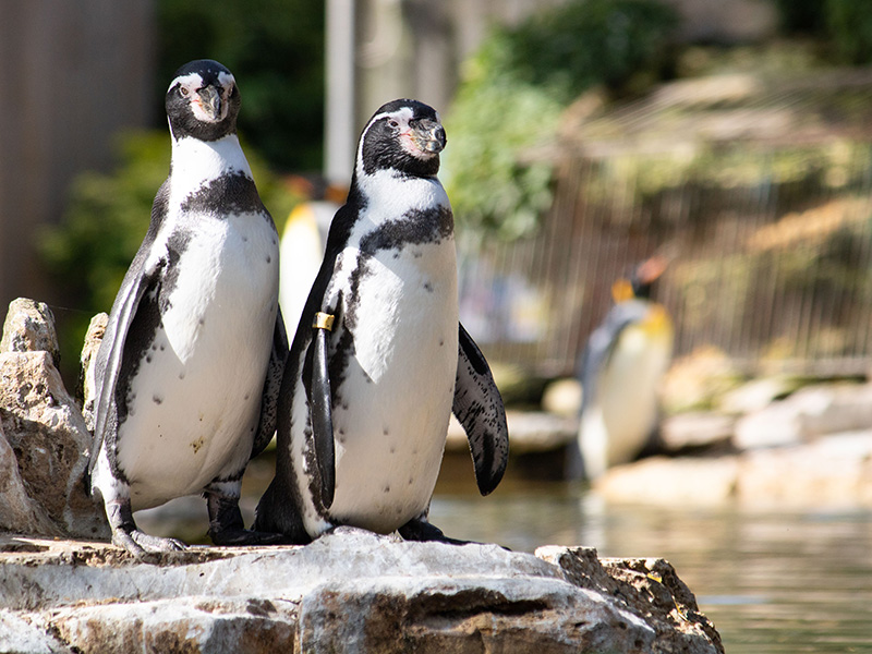 World Penguin Day at Birdland Park & Gardens