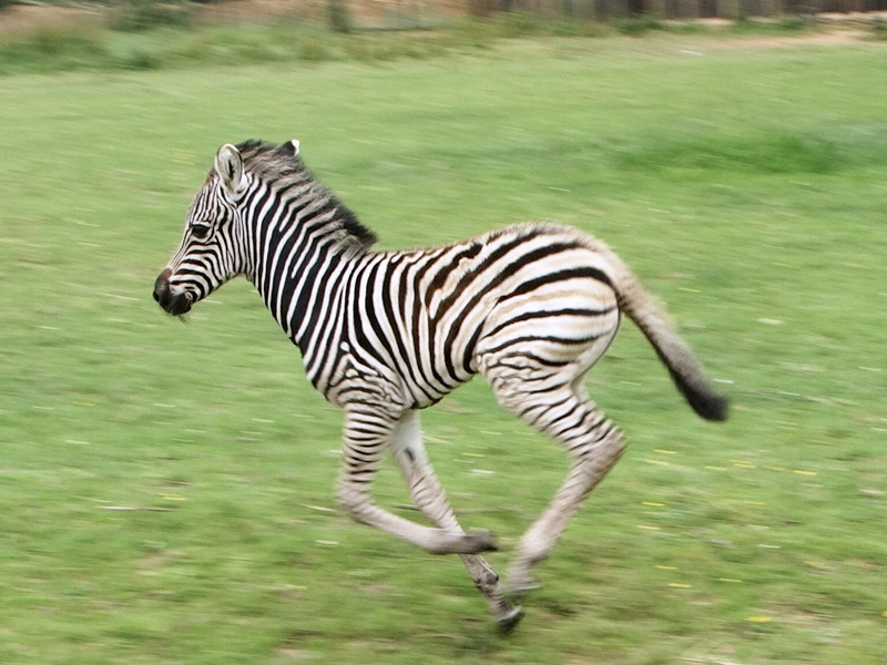 Cotswold Wildlife Park celebrates birth of Chapman's Zebra foal