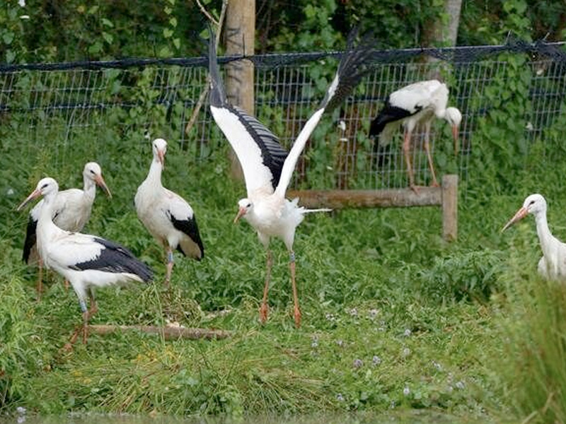 Cotswold Wildlife Park Storks take flight over West Sussex