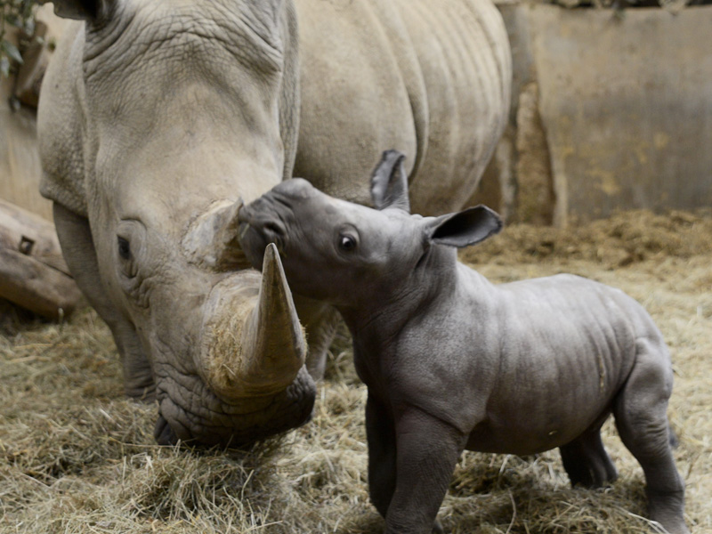 Baby Rhino birth caught on camera at Cotswold Wildlife Park