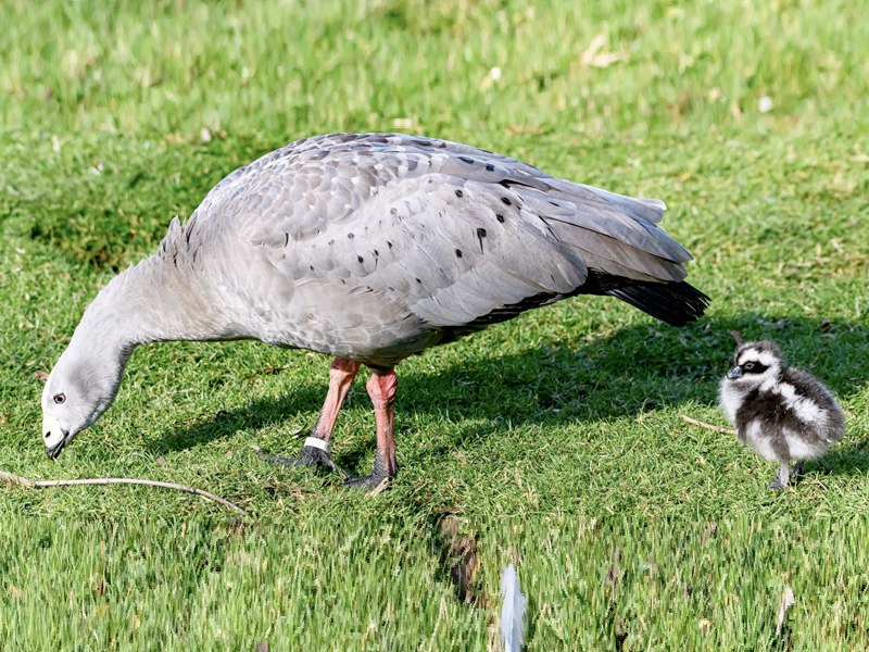 Cape Barren chick hatched at WWT Slimbridge - first time in six years!