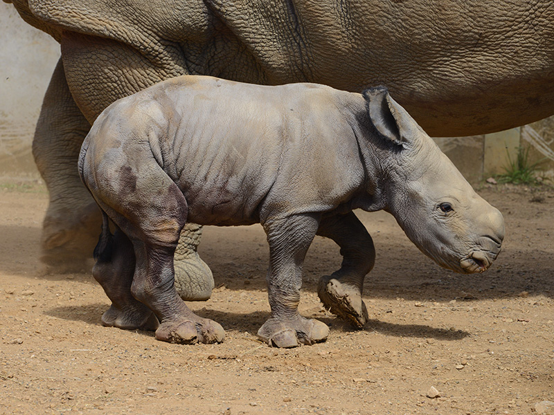 Baby Rhino calf at Cotswold Wildlife Park