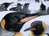 Watch  the Penguins in the snow at Birdland Park & Gardens