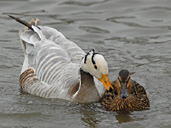 Odd couple swim beak to beak at WWT Slimbridge