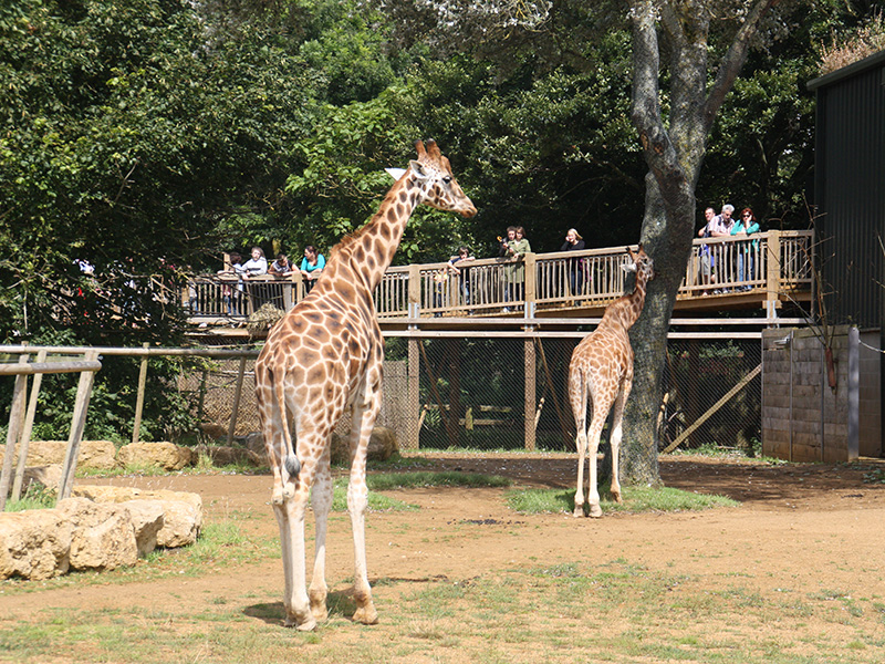 Giraffes at Cotswold Wildlife Park