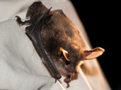 Rare Woodland Bat found at Westonbirt Arboretum