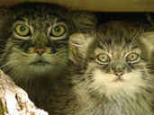 First Pallas Cat kittens born at Cotswold Wildlife Park