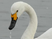 Bewick Swans at WWT Slimbridge
