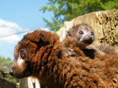 Meet the lemur babies of Madagascar at Cotwolds Wildlife Park